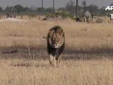 Dos acusados por muerte de león Cecil en Zimbabue