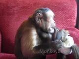 El mono colmado de paciencia