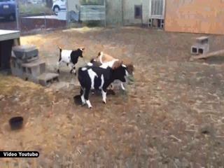 La insólita reacción de las cabras al ver un paraguas