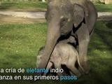 Los primeros pasos de un elefante indio en Praga