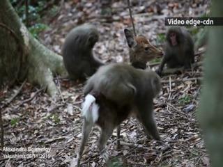 Mono intenta aparearse con ciervo