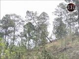 La Tigra el área más afectada por el gorgojo en el Distrito Central