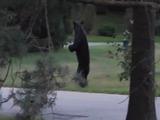 Un oso se pasea en dos patas por las calles de New Jersey