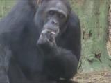 Impresionante: Azalea, el chimpancé que fuma 20 cigarros diarios