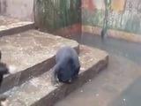 Osos famélicos ruegan por comida en un zoológico de Indonesia