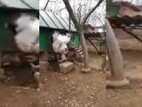 Gallo gigante asombra a los usuarios de Twitter